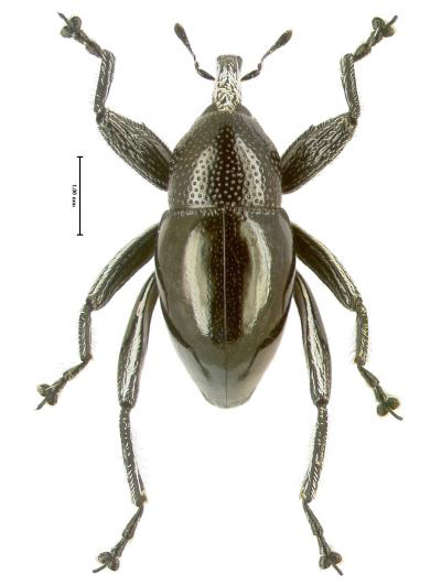 New species: Trigonopterus moreaorum. Photo by: Alexander Riedel.