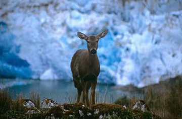 The endangered Huemul deer, a Chilean icon, is returning to former habitat thanks to collaborative conservation efforts. Photo by: Alejandro Vila.
