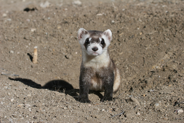 Black-footed ferret (Mustela nigripes). After going extinct in 1987, the species has been re-introduced and now numbers over 1,000 animals in the wild in the U.S. and Canada. Photo by: USFWS.