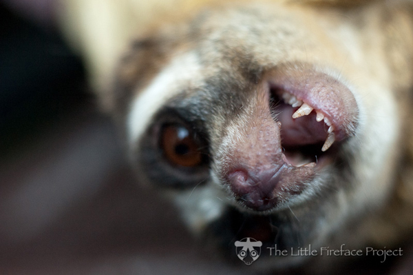 Close-up of Javan slow loris (Nycticebus javanicus), listed as Critically Endangered by the IUCN Red List. Photo courtesy of Little Fireface.