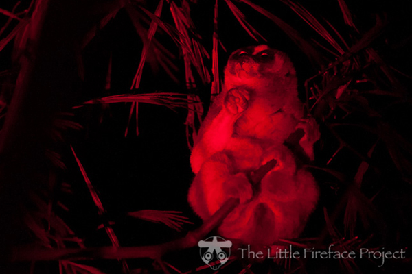Javan slow loris at night. Photo courtesy of Little Fireface.