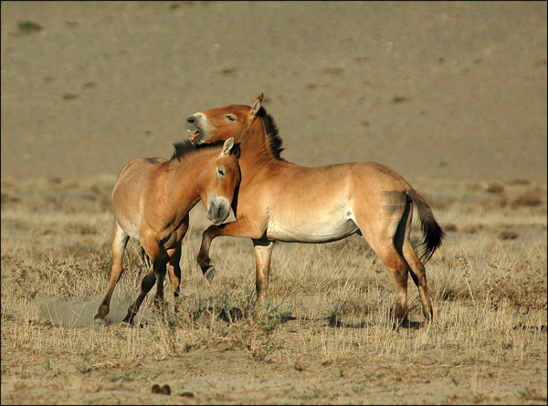 Prezewalski's horse. After vanishing from the wild, Prezewalski's horses were reintroduced in Mongolia in the 1990s. They have also been reintroduced in China, Kazakhstan and the Ukraine. They are the world's only truly wild horse (i.e. never domesticated). Photo by: Petra Kaczensky/International Takhi Group.