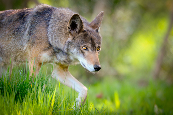 Red wolf: after going extinct in the early 1980s, red wolves were reintroduced in the Eastern U.S. in 1987. Photo by: Seth Bynum /Point Defiance Zoo and Aquarium.