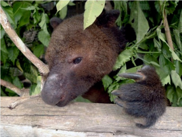 Captive tenkile. The species was only discovered in 1989. Photo courtesy of the Tenkile Conservation Alliance (TCA).