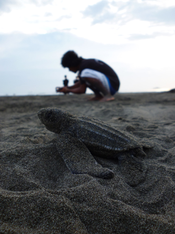 Leatherback hatchling in the foreground with Sandoval in the background. Photo by: Carlyn Samuel.