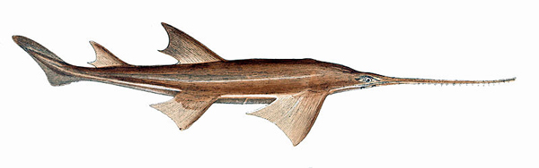 Great-tooth sawfish (Pristis microdon), which may be locally extinct in the Kinabatangan River. The species is listed as Critically Endangered. Illustration: Gervais et Boulart, 1877.