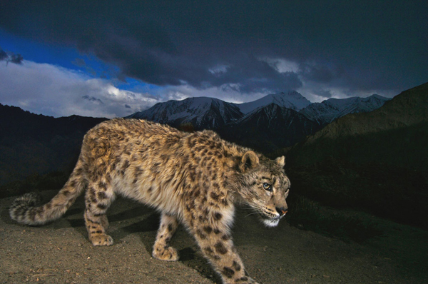 Snow leopard. Photo by:  Steve Winter/National Geographic.