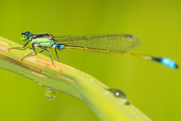 Insect species such as the Common Bluetail (Ischnura senegalensis) are particularly threatened by pesticide entries in their habitat. Photo by: André Künzelmann/UFZ (Place: Banaue/Phillippines).