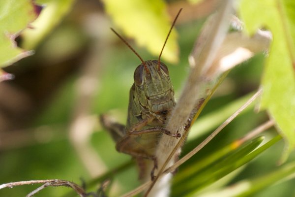 The generalist grasshopper herbivore Melanoplus femurrubrum common in grasslands. Photo by: Dror Hawlena.
