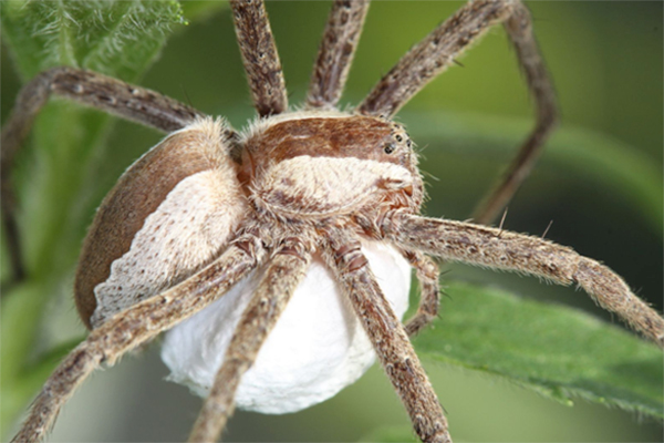 The sit-and-wait hunting spider carnivore Pisaurina mira used in the field experiment. Photo by: Dror Hawlena.