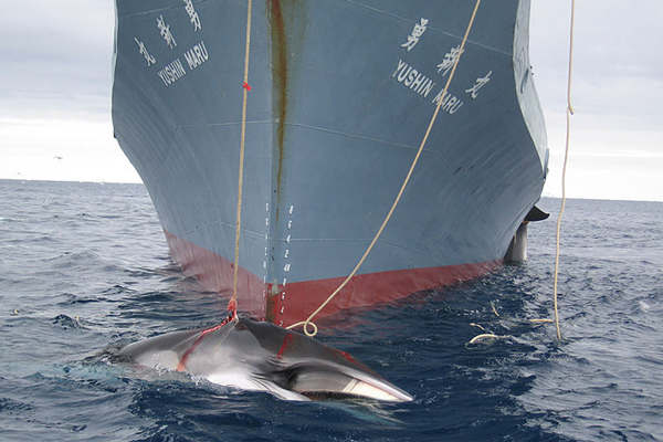 A Minke whale killed by the  Yushin Maru, a Japanese harpoon vessel in 2008. Photo by: Customs and Border Protection Service, Commonwealth of Australia.