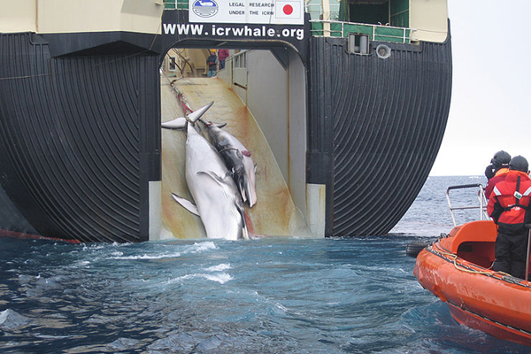 A Minke whale and calf on Nisshin Maru, a Japanese ship that is the world's only factory whaler. Photo by: Customs and Border Protection Service, Commonwealth of Australia.