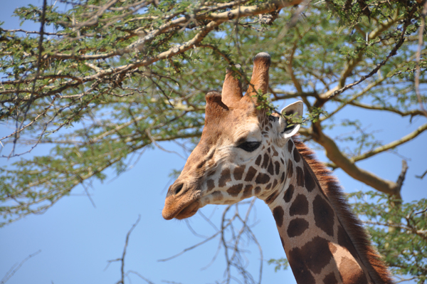 Male Rothschild's giraffe, listed as Endangered. Photo by: Julian Fennessy.