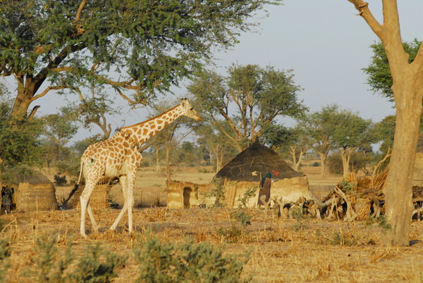 West African giraffe in local village considered Endangered. Photo courtesy of Julian Fennessy.