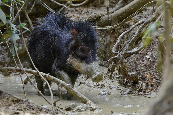 The white-lipped peccary (Tayassu pecari) is now listed as Vulnerable. Photo by: Geoff Gallice.