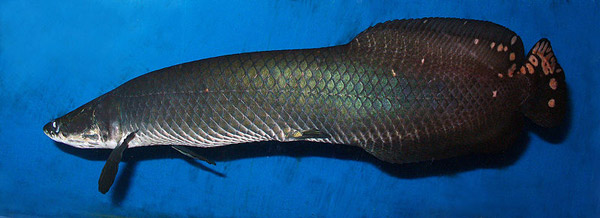 A new species of arapaima: Arapaima leptosoma. This species is housed at Sevastopol Sea Aquarium in the Ukraine, but long conflated with Arampaima gigas. Photo by: George Chernilevsky.