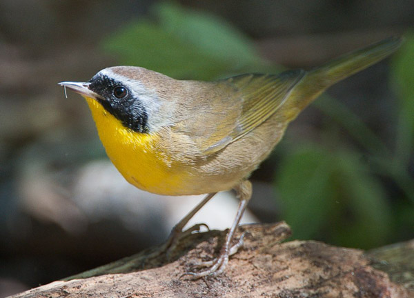 Common yellowthroat warbler. Photo by: Scott Whittle.