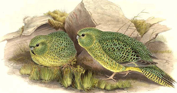 Night parrot. Illustration by: John Gould.
