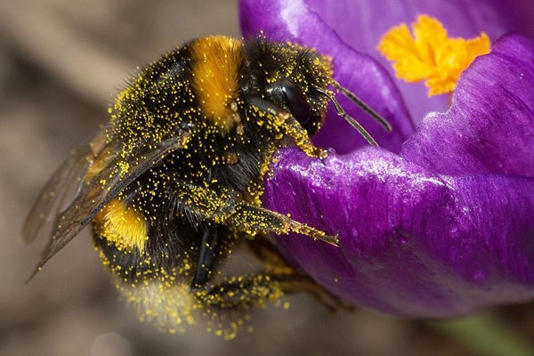 A bumblebee (Bombus terrestris) covered in pollen. Photo by: P7r7
