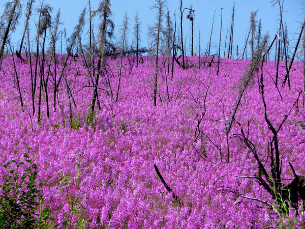Fireweed adds brilliant color to the Yukon Flats. Fireweed, as its name suggests, only grows after an area has burned. Today the Yukon Flats appears to burning twice as frequently as anytime in the last 3,000 years. Photo by: Feng Sheng Hu.