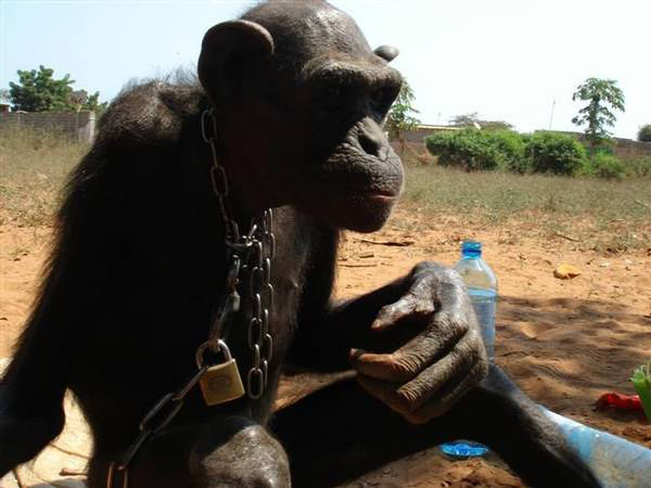 An emaciated chained chimp who was rescued in Angola by JGI Chimpanzee Eden (South Africa). The chimp has since made a full recovery. Photo by: JGI Chimp Eden/PASA.