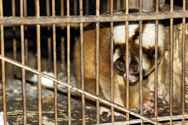 Slender loris at a market for sale in the illegal pet trade. Photo by: Anna Nekaris.