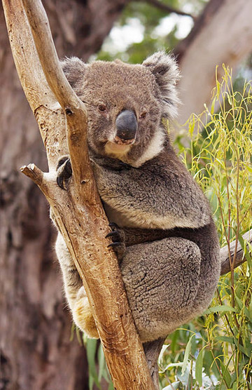 Koala in Tasmania. Photo by: J.J. Harrison.