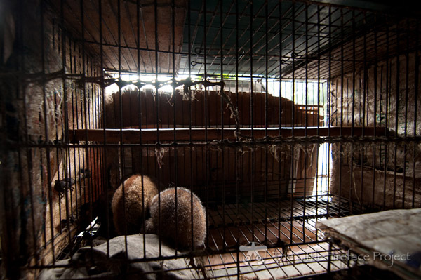 Two Sumatran slow lorises, hidden from direct public view, but openly for sale in Barito Market, Java. Photo by: The Little Fireface Project.