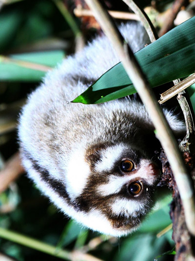 This juvenile Javan slow loris, at just a few months old, practices gouging for gum. The full set of teeth is needed to engage in this important slow loris behaviour—gum being their most important dietary item. Photo by: The Little Fireface Project.
