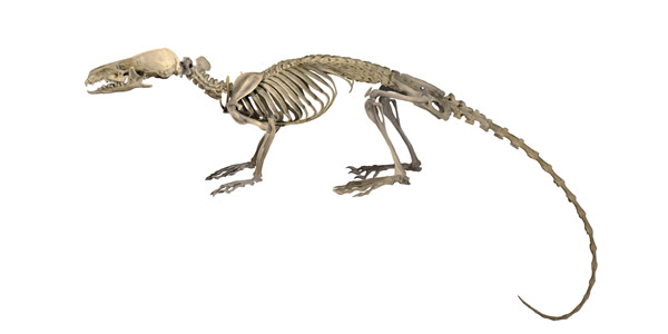 Artistic rendition of Thor's hero shrew's distinct skeleton. Photo by: Velizar Simeonovski.