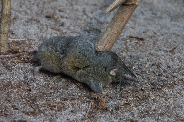 Thor's hero shrew (Scutisorex thori). Photo by: Bill Stanley/Field Museum.