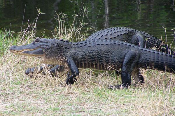 American alligators in Florida. Photo courtesy of Gary Schmelz.