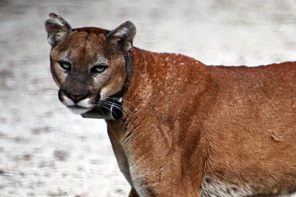 Florida panther (Puma concolor coryi) with radio collar crossing road in Big Cypress area. There are only around 100 Florida panthers left. Photo courtesy of Gary Schmelz.