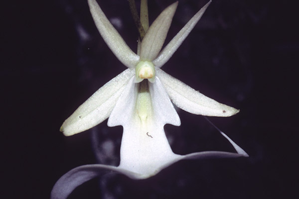 A ghost orchid in Florida. Photo courtesy of Gary Schmelz.