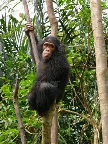 Chimpanzee hanging in a tree, Mefou, National Park, Cameroon. Photo by: Greeenpeace/Filip Verbelen.