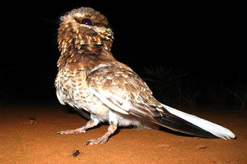 White-winged nightjar. Photo by: Marcelo Prest