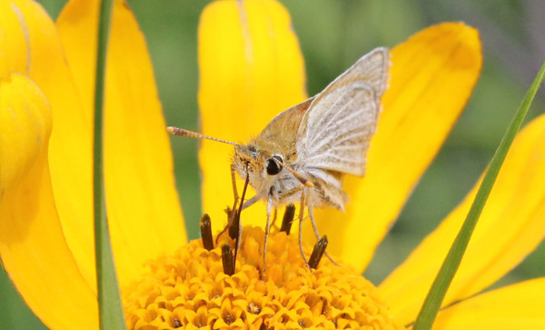 The Poweshiek skipperling in native habitat. Photo by: Erik Runquist/Minnesota Zoo.