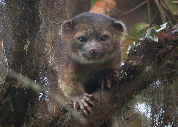 The world's newest species in the mammal order Carnivora: the olinguito. The one was photographed in the wild at Tandayapa Bird Lodge, Ecuador. Photo by: Mark Gurney.