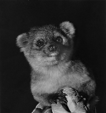 The olinguito came close to being discovered several times during the past century and was even exhibited in zoos, such as this one from the Louisville Zoo. Photo by: I. Poglayen-Neuwall.