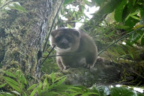 The mother olinguito. Photo by: Luis Mazariegos.