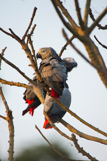 After long journey, African grey parrots are free again. Photo by: © Charles Bergman.