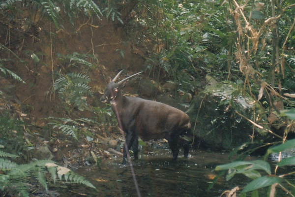 One of the only photos of the Critically Endangered saola in the wild taken by camera trap in 1999. First described 1992, the saola is one of the only large-bodied land mammals new to science from the last century, yet its future remains hugely uncertain. Photo courtesy of William Robichaud.