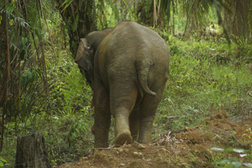 Bornean elephant stepping over electric fence into an oil palm plantation