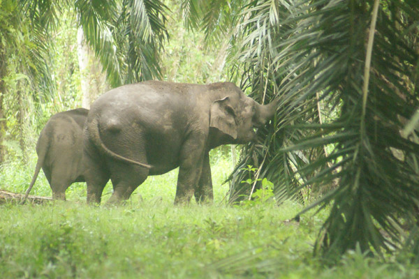 Elephants can be quite destructive in oil palm plantations, sometimes leading to conflict between workers and pachyderms. Photo courtesy of: Nurzahafarina Othman.