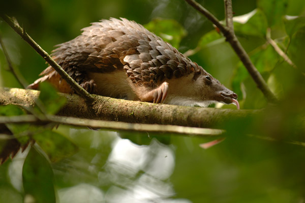 Pangolin in the Okapi Wildlife Reserve. Photo by: Reto Kuster.
