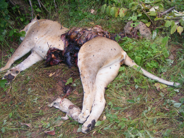 A heavily-pregnant lioness which was poisoned after attacking cattle in the bush. Photo by: Ruaha Carnivore Project.