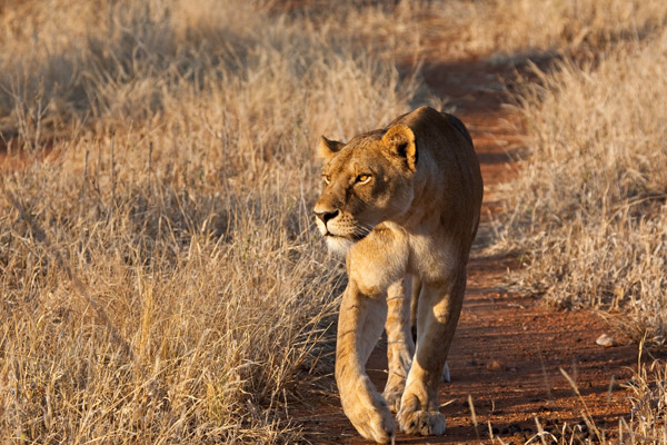 In November, RCP hopes to begin satellite-collaring lions to collect much-needed data on lion movement on village land in the Ruaha landscape. Photo by: Mwagusi Safari Camp.