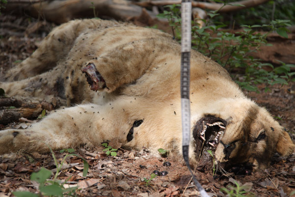 Removal of a lion's paw usually indicates that the lion was killed for cultural reasons. Barabaig warriors take a lion's right front paw as proof of their kill, so that they can be rewarded with 'zawadi'—gifts such as livestock from other Barabaig—for killing a lion. Photo by: Ruaha Carnivore Project.
