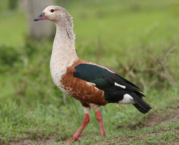 Oronico goose in Venezuela. Photo by: Tom Friedel