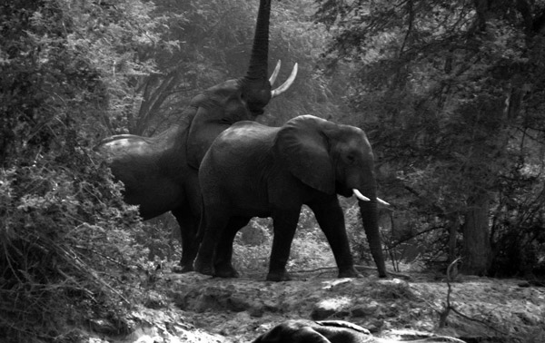 A pair of elephants. Photo by: Cyril Christo and Marie Wilkinson.